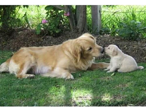 Cachorros Goden Retriver Excelente Genética
