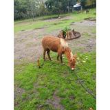 Caballos Y Yeguas Pony