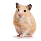 Hamster Golden Hermosos Pethome