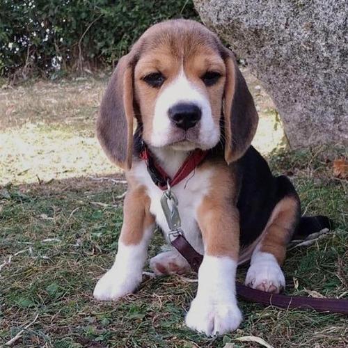 Beagle Macho Cachorro  Ladriditoss