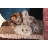 Gatos Persas Himalayos Tortie & Cream - Rosario -