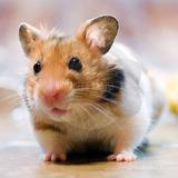 Hamster Golden Dorado Precioso