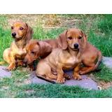 Cachorros Salchichas Minis Kichnet D Excelent Genetica