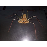 Araña Latigo