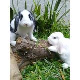 Conejos Holland Lop Puros .envios A Domicilio!!!!!