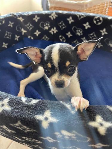 Chihuahuas Machitos Inscritos Kcc