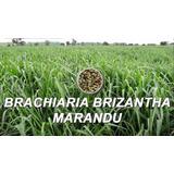 Semillas De Pastos Brachiaria Brizantha Marandu Bolsa 1 Kilo