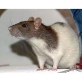 ** Ratas Americanas Para Mascota ** Colores Variados!!