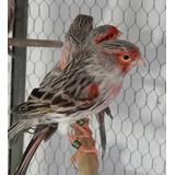 Canario Agata Rojo Mosaico Nacido En Cautiverio Criadero