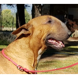 De Toros Muertos Bull Terrier. Cachorros Disponibles ..fca