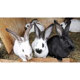 Conejo Bebes De 45 Días
