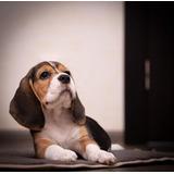 Cachorros Beagle Seleccionados A1 Paga En 12 Meses