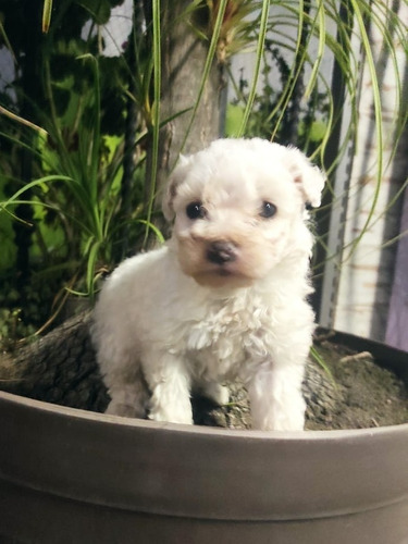 French Poodle Minitoy Super Hermosos