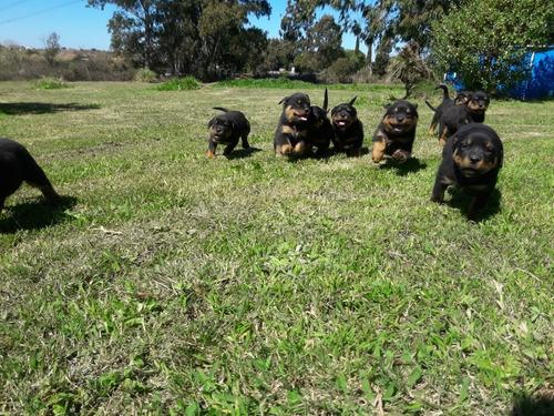 Rottweiler Cachorros  Pedigree        Próximos Nacimientos