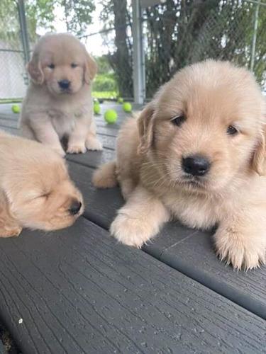 Seña Cachorro 100% Puro Y Sano