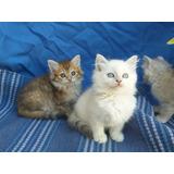Gato Siberiano No Persa No Birmano