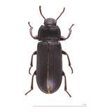 Escarabajo De Tenebrio X 10 Uds