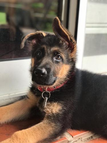 Cachorros Ovejero Aleman  Padres Ambos  Poa A La Vista