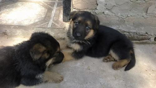 Ovejeros Alemanes Cachorros 45 Dias