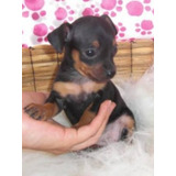 Cachorra Pincher Miniatura