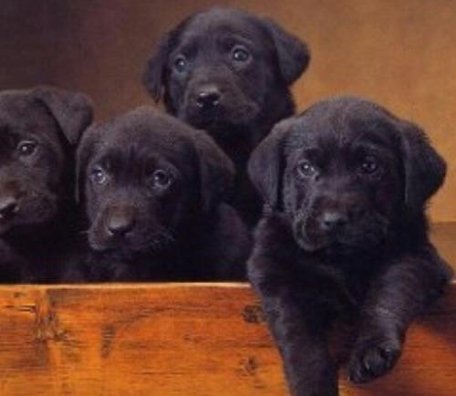 Labradores Retriever Excelente Genetica