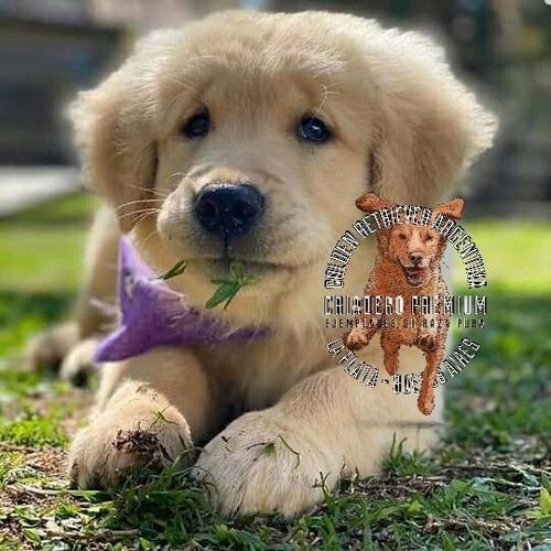 Fotos Reales Golden Cachorros Criadero Premium Confiable
