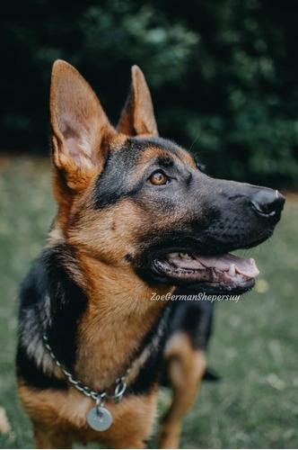 Cachorros Pastor Alemán Nacen Para Eneroya Se Están Señan