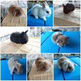 Hermosos Conejos Para Mascota Enano Y Mini Lop Oferta Reyes