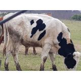 Toro De 1 Año Y Medio Holando Argentino Puro!! 300k