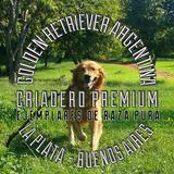 Cachorros Golden Selec - Criadero Golden Retriever Argentina