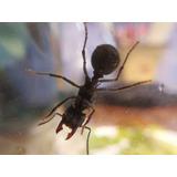 Hormiga Reina Con Hormiguero Según Especie
