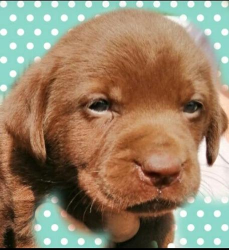 Cachorra Labrador Chocolate D Excelente Genética