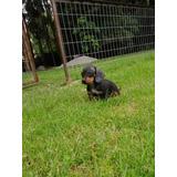 Cachorro Salchicha Miniatura Negro