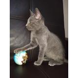 Gatito Azul Ruso ( Muy Fino )
