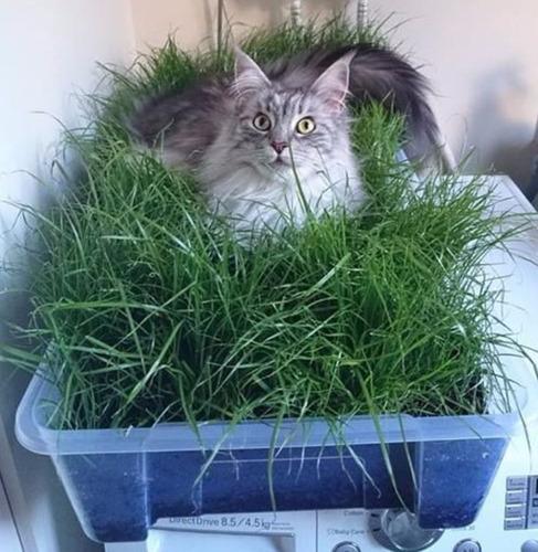 700 Sementes Para Pet Grass Grama Gatos Cães Coelhos