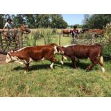 Vendo Vacas Terneros Terneras Vaquillonas