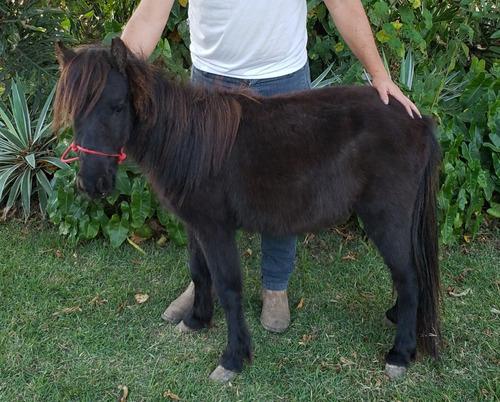 Mini Pônei. Mini Horse.
