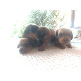 3 Cachorras Salchichas Estándar Hermosas!!!