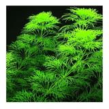 Planta Natural Para Acuario Limnophila Aquatica Ambulia  X 5