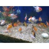 Combo Peces De Agua Fría. Acuario Aquariumba