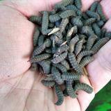 200 Gr De Larva De Mosca Soldado