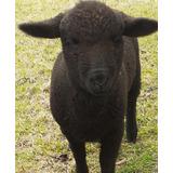 Cordero Bebé Hembra De 8 Semanas Totalmente Negra Mascota