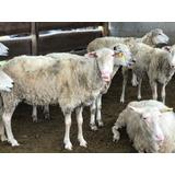 Ovejas Preñadas Texel Segunda Aparición Corderos Carneros