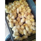 Pollo De Engorde Cood 500 Pdf