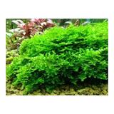 Planta Natural Para Acuario Musgo Christmas