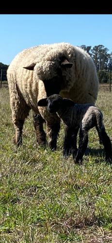Ovejas, Carneros Y Corderos Cara Negra Puros Por Cruza
