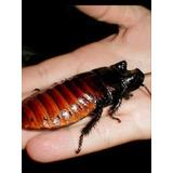 Cucaracha Gigante De Madagascar Mascota Alimento Vivo Daniel