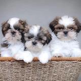 Cachorros Shih Tzu Shitzu Shihtzu Mini !! Hembras