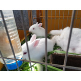 Conejo Gazapo Neozelandés Macho Para Mascota Engorde O Repro