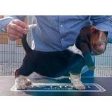 Preciosos Y Auténticos Cachorritos Basset Hound Calidad A-1